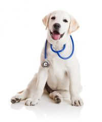 https://www.cliniqueveterinairedugolfe.fr/wp-content/uploads/2020/01/labrador-stetho-200x240.jpg